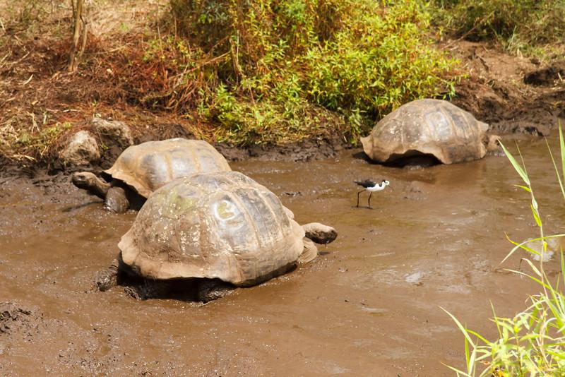 Galapagos Tortoises with Black-necked Stilt at Santa Cruz, Galapagos, Ecuador (11-20-2011) - 562
