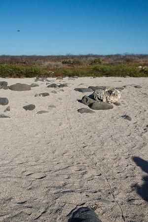 Marine Iguana tracks at North Seymour, Galapagos, Ecuador (11-19-2011) - 521