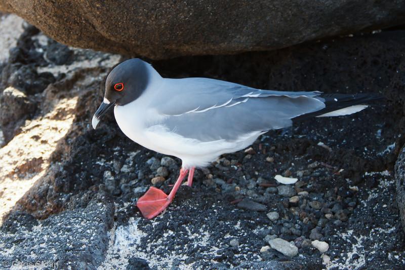 Swallow-tailed Gull adult at North Seymour, Galapagos, Ecuador (11-19-2011) - 310
