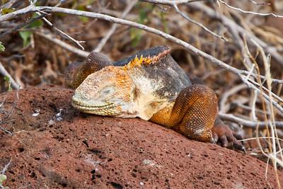 Land Iguana at North Seymour, Galapagos, Ecuador (11-19-2011) - 491-Edit