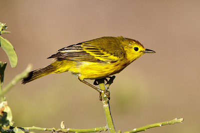 Mangrove Yellow Warbler at North Seymour, Galapagos, Ecuador (11-19-2011) - 325