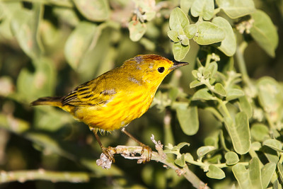 Mangrove Yellow Warbler at North Seymour, Galapagos, Ecuador (11-19-2011) - 341