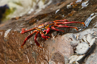 Sally Lightfood Crab at Baltra, Galapagos, Ecuador (11-19-2011)-27