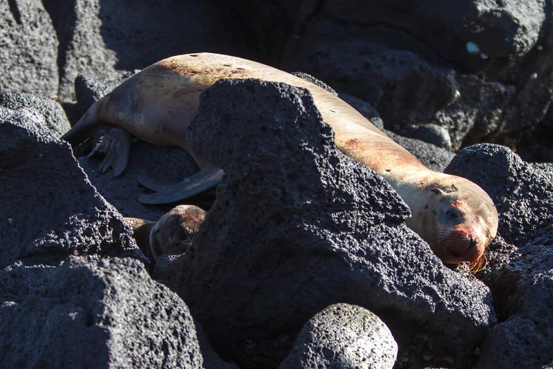 Galapagos Sea Lion with newbord pup at North Seymour, Galapagos, Ecuador (11-19-2011) - 301