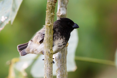Large Tree-Finch at Santa Cruz, Galapagos, Ecuador (11-20-2011) - 679