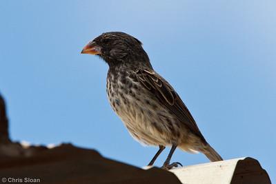Medium Ground-Finch at Baltra, Galapagos, Ecuador (11-19-2011)-16