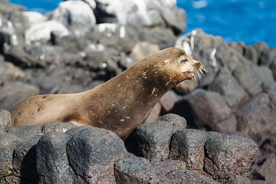 Galapagos Sea Lion male at North Seymour, Galapagos, Ecuador (11-19-2011) - 304