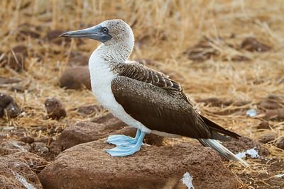 Blue-footed Booby adult at North Seymour, Galapagos, Ecuador (11-19-2011) - 461