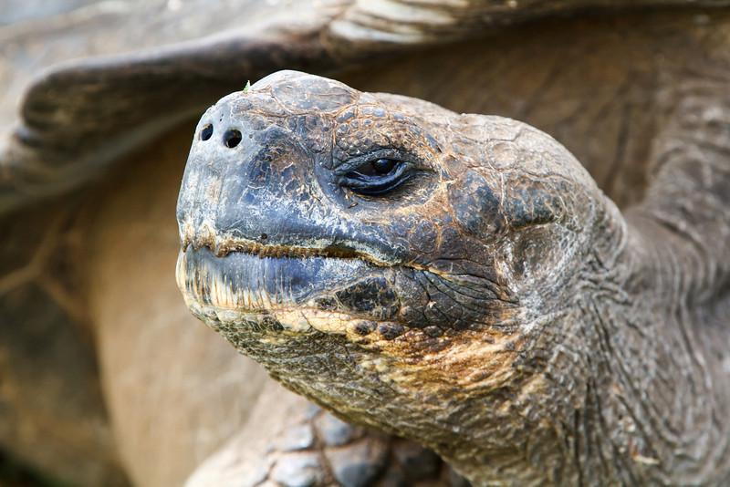 Galapagos Tortoise at Santa Cruz, Galapagos, Ecuador (11-20-2011) - 970