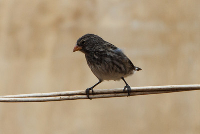 Small Ground-Finch at Baltra, Galapagos, Ecuador (11-19-2011)-4