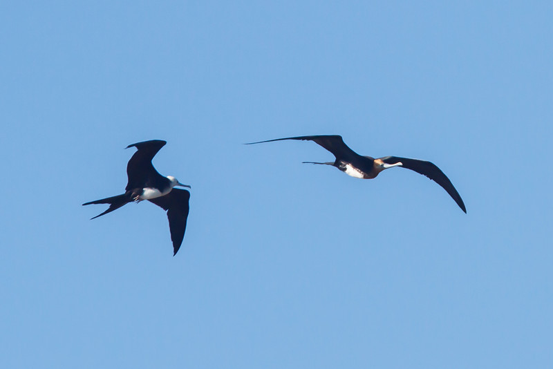 Great Frigatebird and Magnificent Frigatebird immatures at North Seymour, Galapagos, Ecuador (11-19-2011) - 226