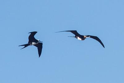 Great Frigatebird and Magnificent Frigatebird immatures at North Seymour, Galapagos, Ecuador (11-19-2011) - 226