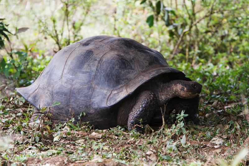 Galapagos Tortoise at Santa Cruz, Galapagos, Ecuador (11-20-2011) - 947