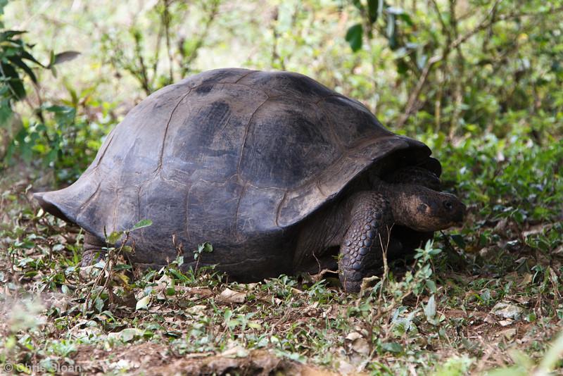 Galapagos Tortoise at Santa Cruz, Galapagos, Ecuador (11-20-2011) - 950