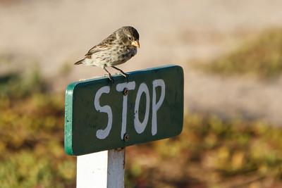 Small Ground-Finch at North Seymour, Galapagos, Ecuador (11-19-2011) - 398