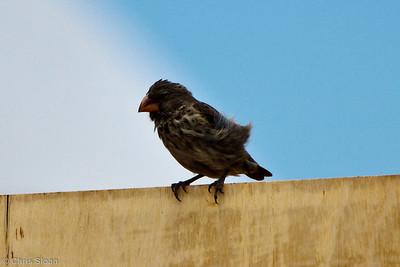 Medium Ground-Finch at Baltra, Galapagos, Ecuador (11-19-2011)-7