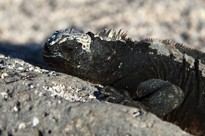 Marine Iguanas at North Seymour, Galapagos, Ecuador (11-19-2011) - 370