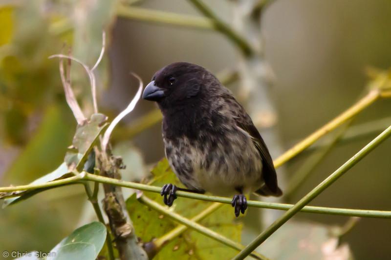 Large Tree-Finch at Santa Cruz, Galapagos, Ecuador (11-20-2011) - 727