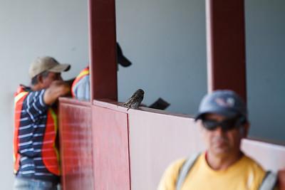 Medium Ground-Finches at Baltra, Galapagos, Ecuador (11-19-2011)-3