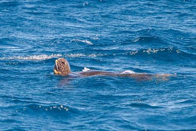 Pacific Green Sea Turtle at North Seymour, Galapagos, Ecuador (11-19-2011) - 108