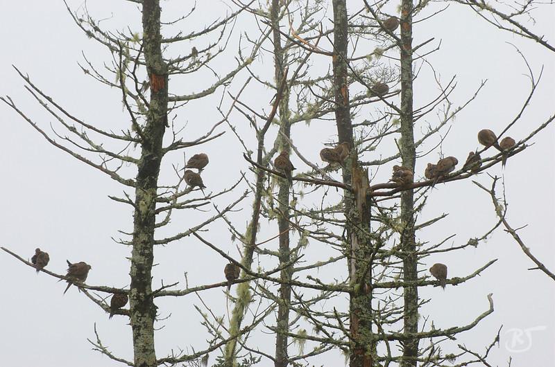 Mourning Doves in Fog