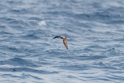 Fea's Petrel at Gulf Stream off Hatteras, NC (08-08-2014) 032-43