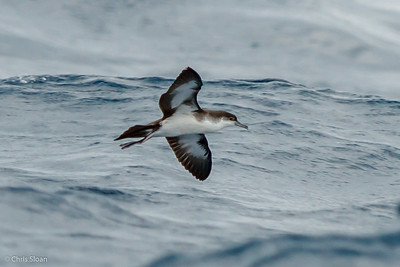 Audubon's Shearwater at Gulf Stream off Hatteras, NC (08-09-2014) 033-6