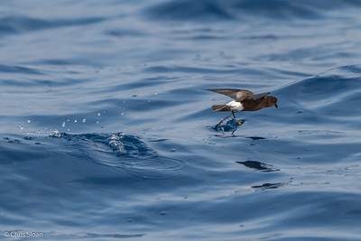 WIlson's Storm-Petrel at Gulf Stream off Hatteras, NC (08-08-2014) 032-20