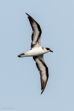 Black-capped Petrel at Gulf Stream off Hatteras, NC (08-08-2014) 032-9