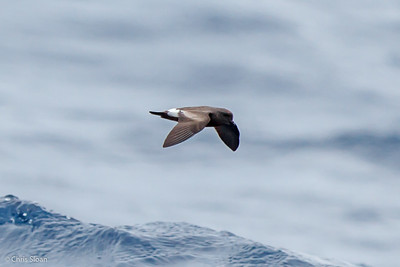 Band-rumped Storm-Petrel at Gulf Stream off Hatteras, NC (08-09-2014) 033-38