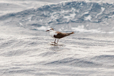 Bridled Tern juvenile at Gulf Stream off Hatteras, NC (08-09-2014) 033-30