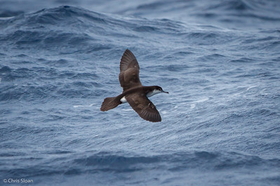 Audubon's Shearwater at Gulf Stream off Hatteras, NC (08-08-2014) 032-36