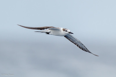 Bridled Tern juvenile at Gulf Stream off Hatteras, NC (08-09-2014) 033-31