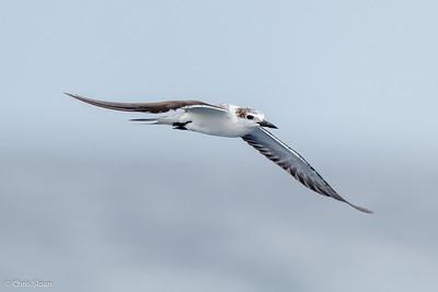 Bridled Tern juvenile at Gulf Stream off Hatteras, NC (08-09-2014) 033-31