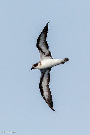 Black-capped Petrel at Gulf Stream off Hatteras, NC (08-08-2014) 032-8