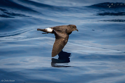 Band-rumped Storm-Petrel at Gulf Stream off Hatteras, NC (08-08-2014) 032-27