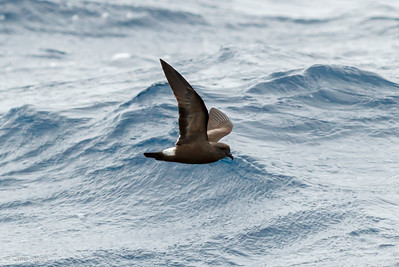 Band-rumped Storm-Petrel at Gulf Stream off Hatteras, NC (08-09-2014) 033-41