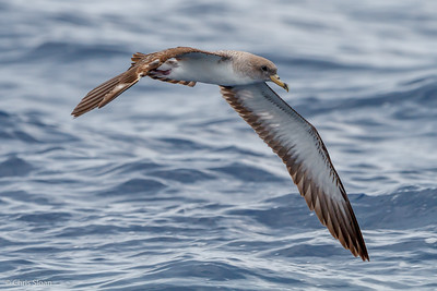 Cory's Shearwater at Gulf Stream off Hatteras, NC (08-08-2014) 032-41