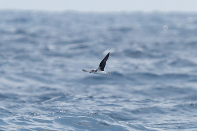 Fea's Petrel at Gulf Stream off Hatteras, NC (08-08-2014) 032-44