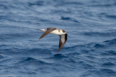 Black-capped Petrel at Gulf Stream off Hatteras, NC (08-08-2014) 032-17