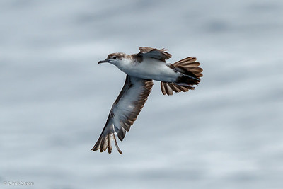 Audubon's Shearwater at Gulf Stream off Hatteras, NC (08-09-2014) 033-59