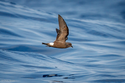 Band-rumped Storm-Petrel at Gulf Stream off Hatteras, NC (08-08-2014) 032-23
