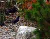 Common Grackle (Quiscalus quiscula)<br /> <br /> Halifax, Nova Scotia.  10 October 2007.