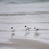 Good Harbor Beach: Three Bonaparte's Gulls zoom