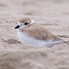 """Good Harbor Beach: Piping Plover """"Little Chick"""" resting on beach zoom"""