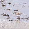 """Good Harbor Beach: Piping Plover """"Little Chick"""" walking on beach zoom"""