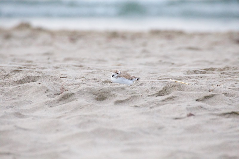 """Good Harbor Beach: Piping Plover """"Little Chick"""" resting on beach"""