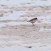 Good Harbor Beach: Semipalmated Plover zoom