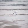 Good Harbor Beach: Bonaparte's Gull flying