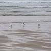 Good Harbor Beach: Three Bonaparte's Gulls